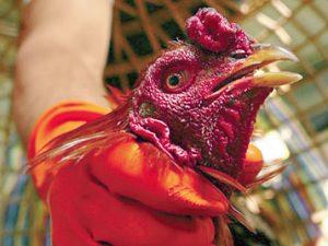 Птичий грипп теперь и в Гонконге